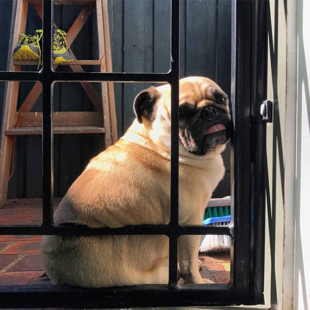 When the sun is out so too is the pug!hellip